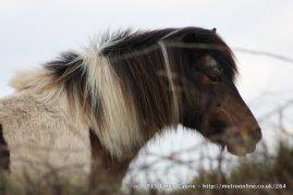 James_Laurie_Dartmoor_Pony_Preview